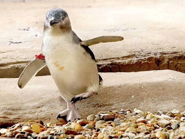 2 Turis Mabok 'NYULIK' Penguin Di Sea World, Pas Sadar Malah Bingung !