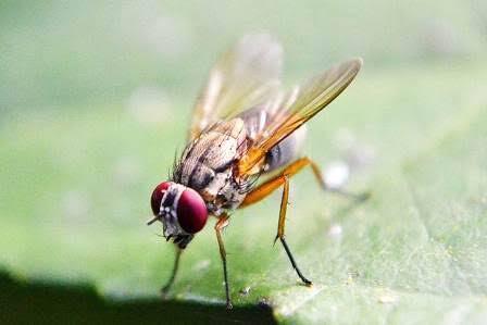 Gak Cuma Manusia, Lalat Buah Pun Frustasi Dan Mabuk Lantaran Ditolak Cinta