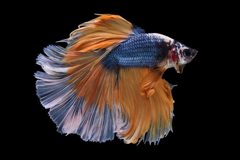 Tips Merawat Ikan Cupang Saat di Tinggal Liburan atau Mudik Lebaran!