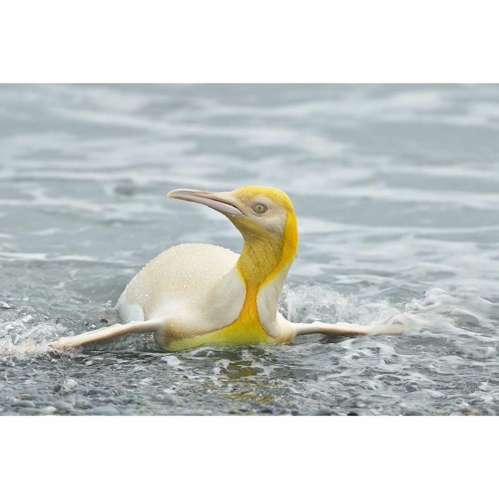 Langka! Penguin Kuning Jatuh di Tangan Kamera Fotografer Satwa Liar, Yves Adams