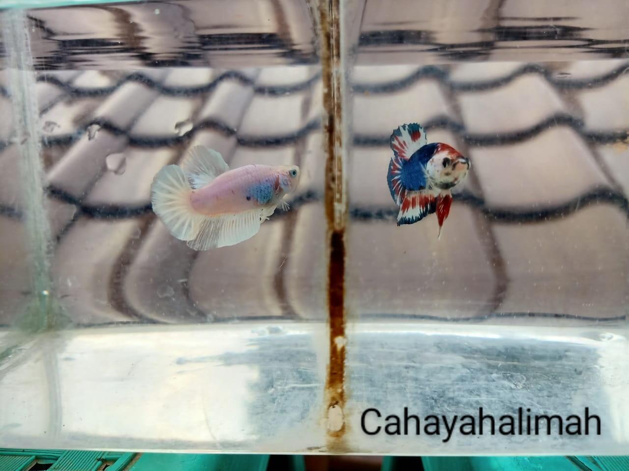 Breeding Ikan Cupang Tak Semudah di Channel YouTube, Serta Tips Sebagai Pemula!