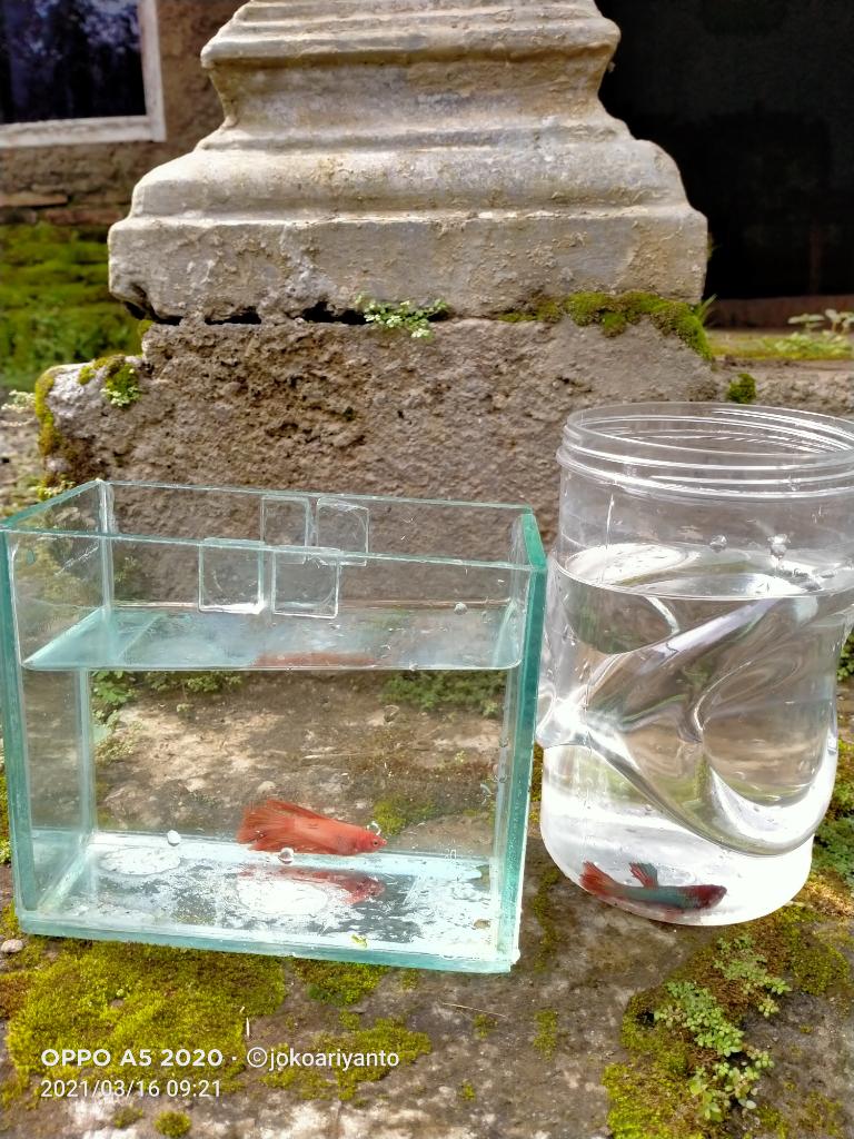Tips Merawat Ikan Cupang yang Baik dan Benar