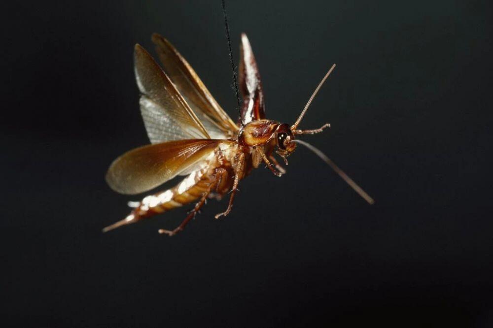 Hewan Kecoa Yang Bikin Ane Langsung Takut Dan Lari Ketika Mencoba Mendekat