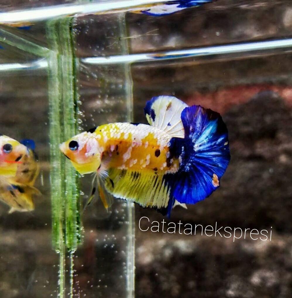 Cara merawat ikan cupang versi CATATAN EKSPRESI