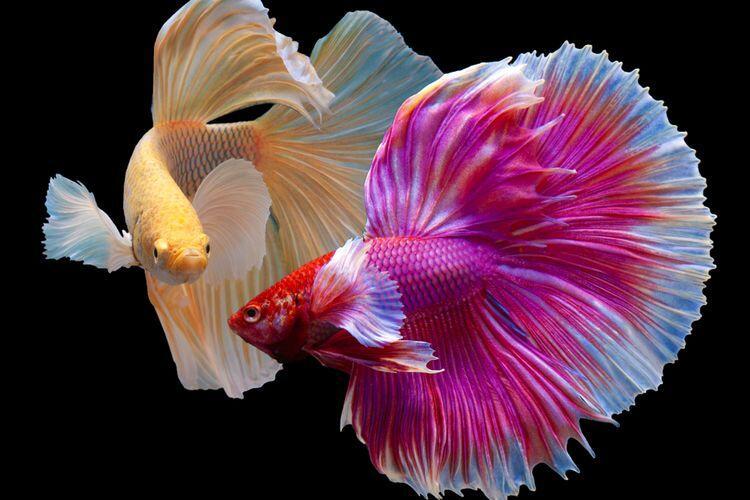Memelihara Ikan Cupang agar tak Mudah Mati