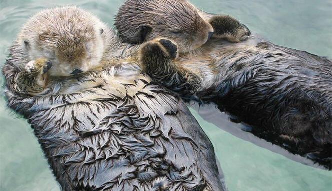 Fakta Kebiasaan Aneh Hewan: Berang-Berang Laut Tidur Sambil Bergenggaman Tangan