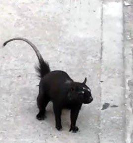 Mengerikan, Terekam Video Tikus Bermata 3 Seukuran Kucing, Hewan Mutan?
