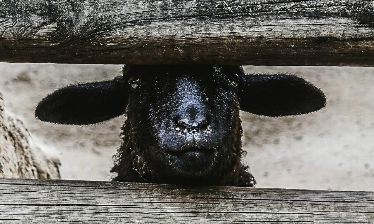 Baa Baa Black Sheep, Lagu Anak dengan Kisah Kelam