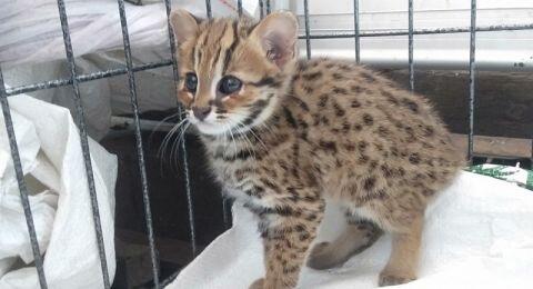 Warga Kediri 'Nemu' Anak Kucing Hutan Langka Nyasar ke Perkampungan