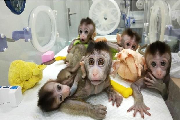 Ilmuwan Amerika Ciptakan Makhluk Campuran Manusia-Monyet, Ini Tujuannya!