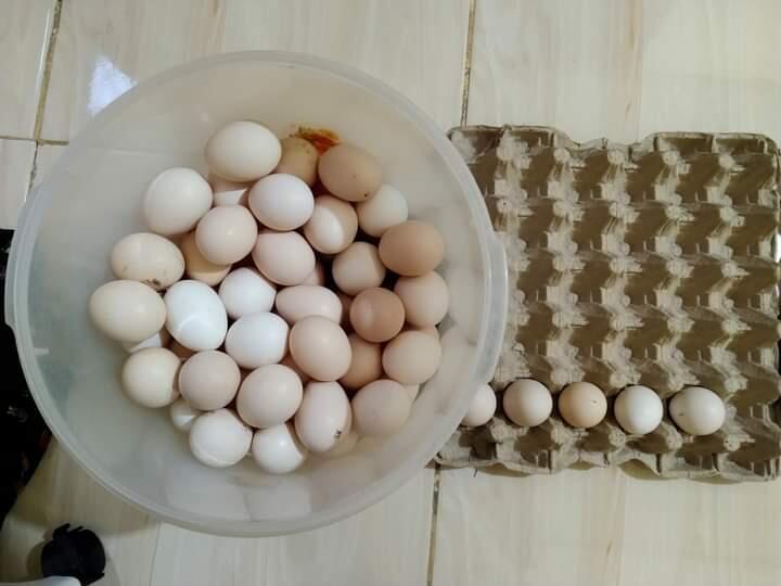 UMKM Telur Ayam Kampung, No Suntikan Dan Obat-Obatan!