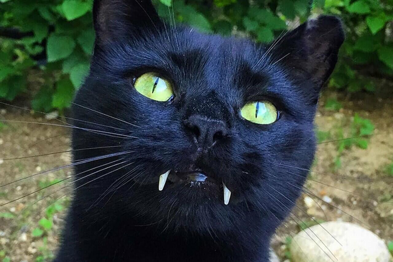 Sebagai Pembawa Sial, Inilah Beberapa Hal Menarik Dari Kucing Hitam