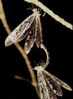 Undur-undur Ternyata Cuma Larva, Cek Bentuk Dewasanya, Gan!