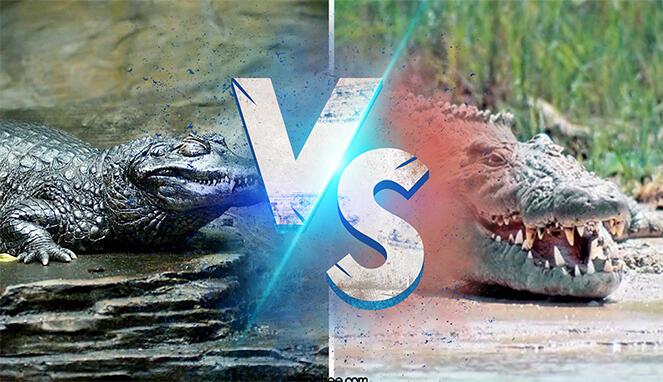 Monster Penghuni Sungai Terpanjang Dunia: Reptil Sang Raja Sungai Pemakan Manusia