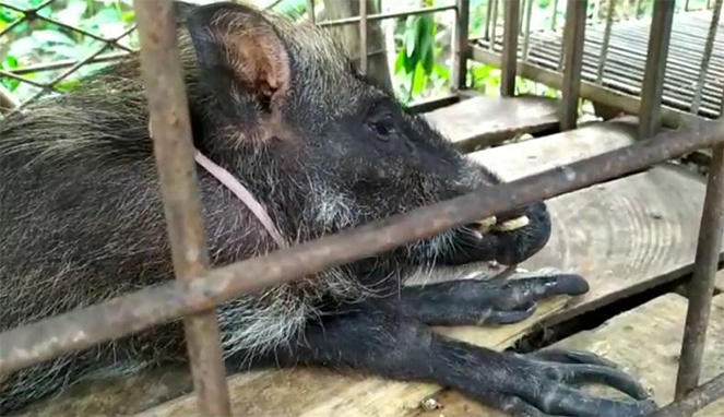 7 Penangkapan Hewan Jadi-Jadian: Kelelawar Di Jombang, Jawa Timur