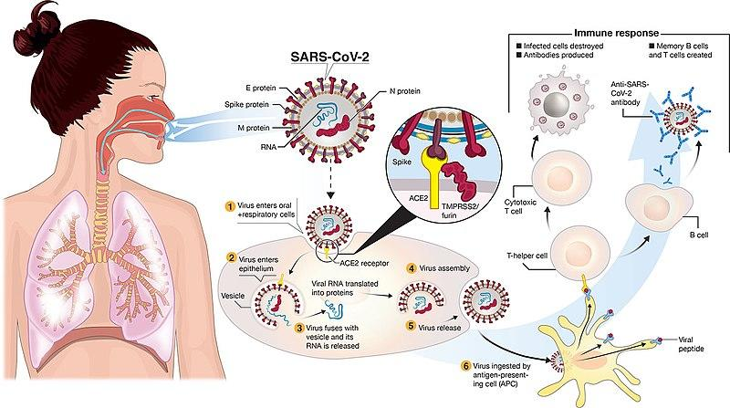 Sejarah Virus Corona