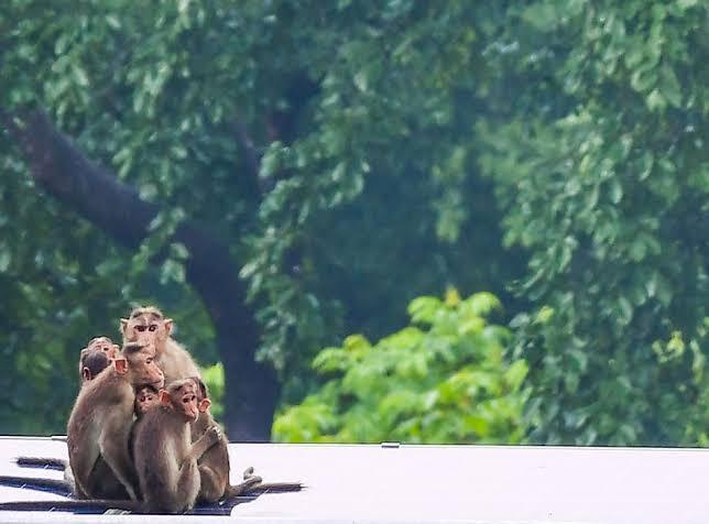 Virus Monyet B Ternyata Sangat Mematikan, Sudah Memakan Korban di Cina, ini Gejalanya