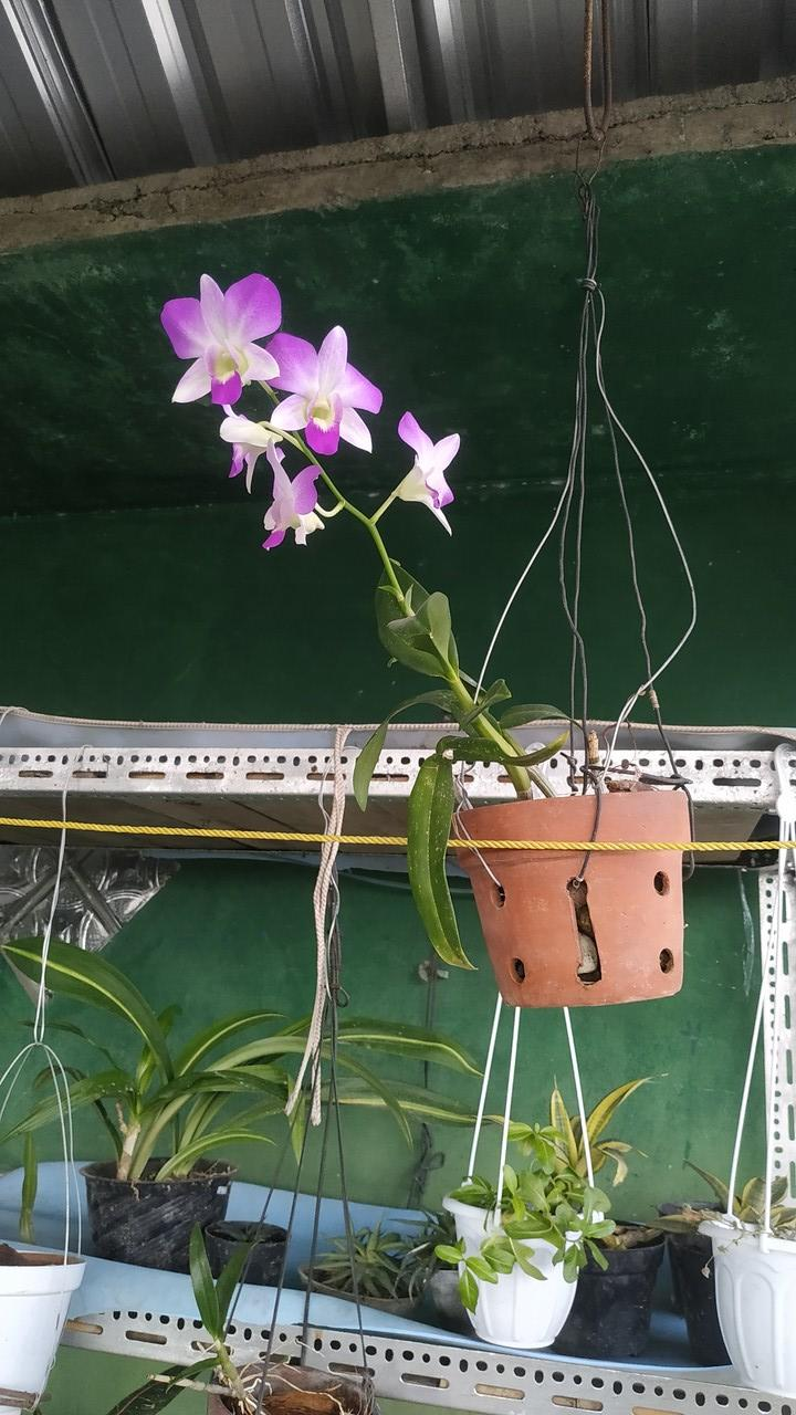 Koleksi Bunga Anggrek