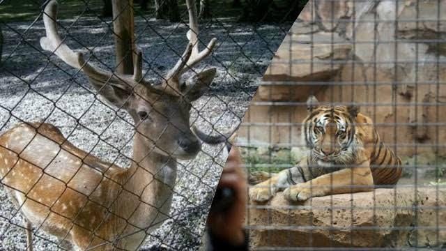 Babak Belur Hadapi Pandemi, Rusa Akan 'DIKORBANKAN' Untuk Makan Harimau !