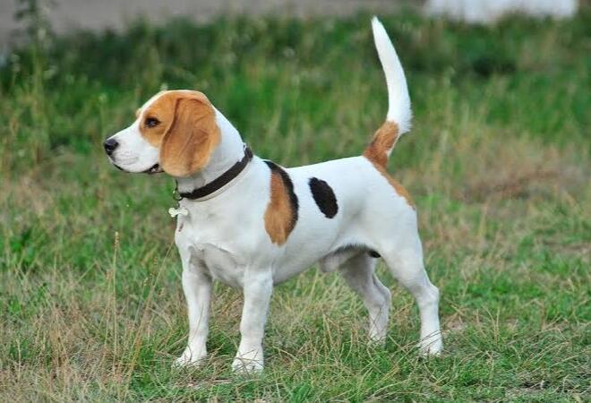 Toba Fakta   Benarkah Orang Batak Suka Makan Anjing Peliharaan Sendiri?