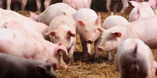 Banyak Salah Kaprah Tentang Jenis Hewan Babi, ini Jenis Yang Dipakai di Adat Batak?