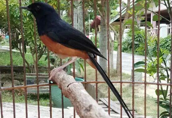 Cara Mudah Merawat Burung Murai Batu Tangkapan Hutan
