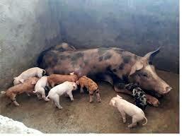 Mengerikan! Seorang Wanita Tewas Dimangsa Babi Peliharaannya
