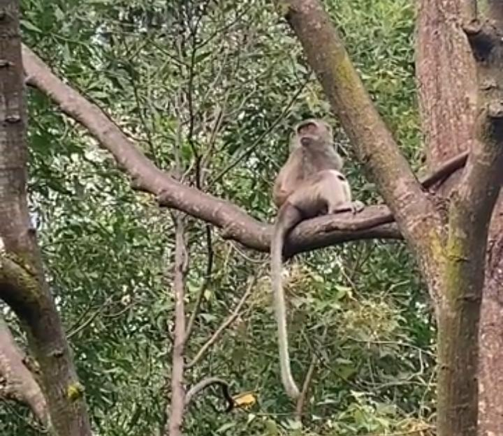 Monyet Culik Anak Anjing, Berhasil Membuat Orang Menjadi Ngakak