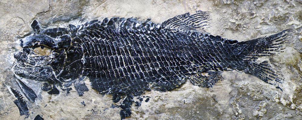 Penemuan Fosil Ikan Schistodon di Laut Trias Cina Selatan