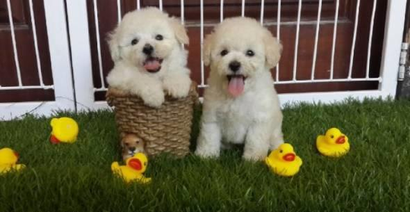 FOR SALE TOY POODLE