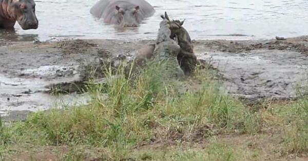 lihat-aksi-heroik-kudanil-ini-saat-menyelamatkan-wildbeast-dari-santapan-buaya-gan