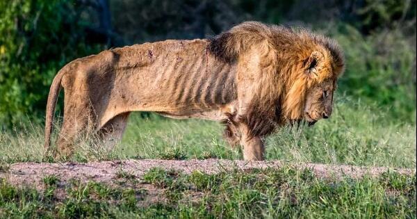 kondisi-singa-ini-setelah-kehilangan-harga-dirinya-kasian-gan