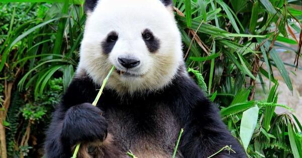 meski-makanannya-bambu-panda-digolongkan-sebagai-hewan-karnivora-kok-bisa
