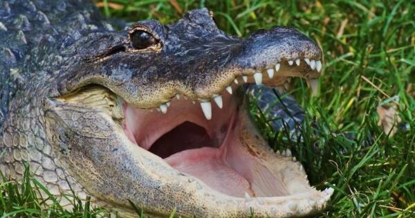 5-perbedaan-yang-nyata-antara-alligator-vs-crocodile