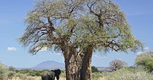 pohon-baobab-tertua-di-afrika-sedang-sekarat-akibat-perubahan-iklim