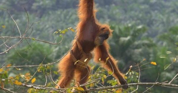 puan-si-orangutan-tertua-di-dunia-asal-sumatra-yang-meninggal-di-australia