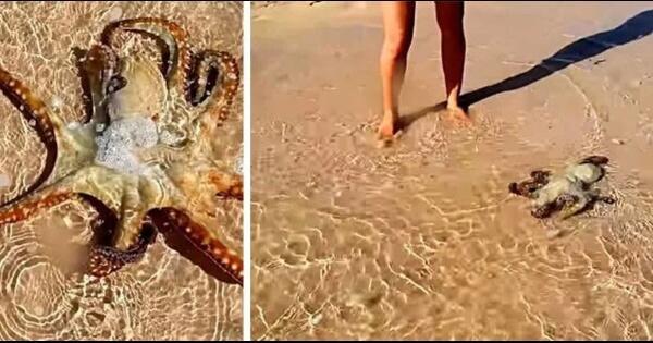saat-sedang-berjalan-jalan-di-pantai-aku-quotmembantu-gurita-agar-bisa-kembali-ke-lautquot