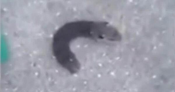 ulat-bulu-punya-kepala-mirip-tikus-kok-bisa