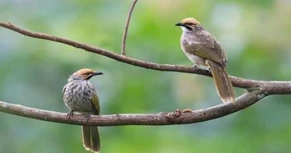 burung-kicau-termahal-di-indonesia