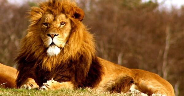 gara-gara-tak-memperhatikan-langkah-kakinya-singa-jantan-ini-tercebur-ke-parit