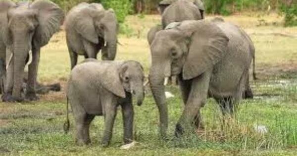 jangan-salah-sangka-tentang-hewan-besar-ini-ternyata-tak-sekuat-yang-kita-bayangkan