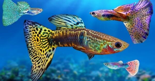 Beginilah Cara Praktis Merawat dan Budidaya Ikan Guppy ...