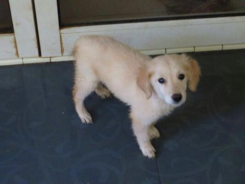 Anakan anjing Golden - mix umur 3 bulan