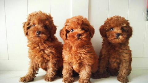 red tiny toy poodle