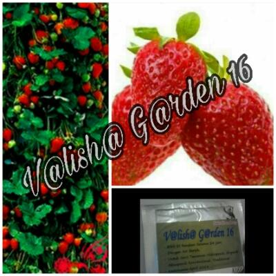 Bibit Strawberry 10 Butir