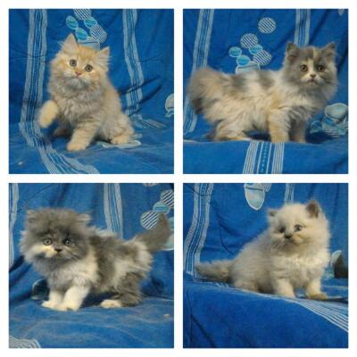 Jual Kucing Kitten Persia Calico, Orange, Abu-Abu