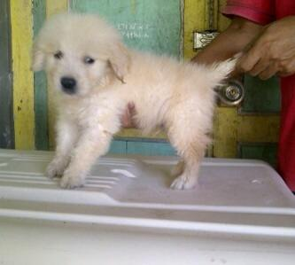Anjing Puppies Golden Retriever Jantan 1,5bulan Stambum Vaksin Jogja