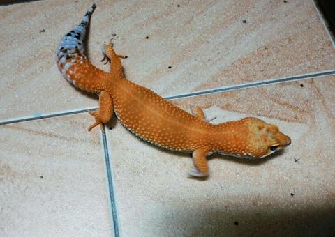 Gecko HG series (juvenile)