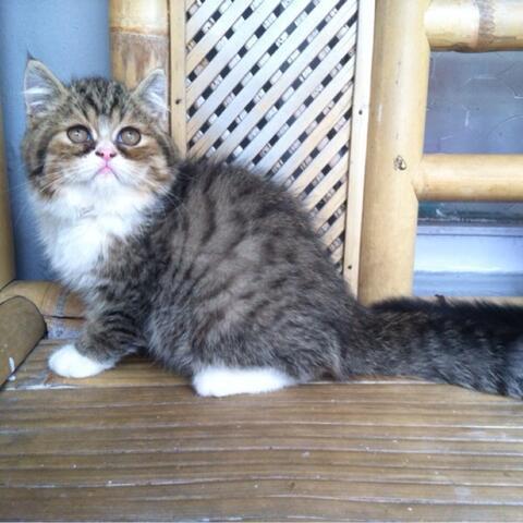 Kucing/kitten persia exotic shorthair asli, mantapp (bandung)