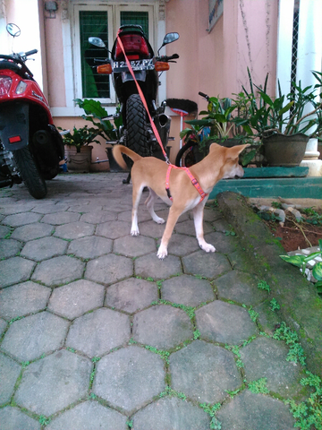 dihibahkan anjing kampung lokasi semarang, hanya untuk penyayang binatang.